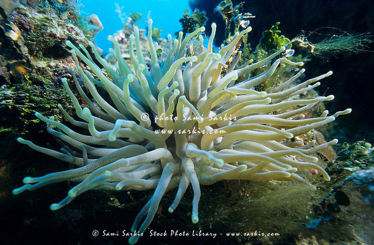 Tentacles of the Snakelocks Anemone floating in the water, Cozumel Island, Yucatan Peninsula, Mexico.