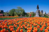 Public Garden w/ tulips, spring, George Washington statue, Boston, MA