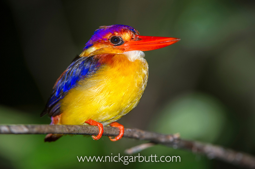 Rufous-backed Kingfisher (Sabah race)(Ceyx rufidorsa motleyi) roosting on branch in rainforest understory. Kinabatangan River, Sabah, Borneo. September.