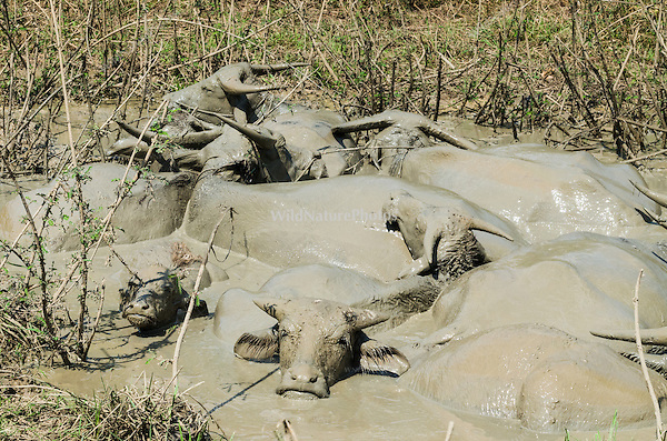 Asian Water Buffalo (Bubalus bubalis) enjoying a mud bath at a favored water hole during the dry season. (Prey Veng, Cambodia)