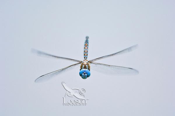 Male Blue-eyed Darner (Aeshna multicolor) flying over pond.  Pacific Northwest.  Summer.