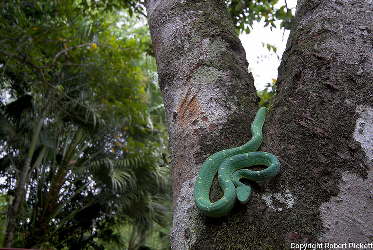 Side Striped Palm Pit Viper Snake, Bothriechis lateralis, relatively slender with have a prehensile tail, Costa Rica and western Panama, venemous, coiled in tree