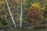 Birch trees in autumn in oakwoods, Ballater, Aberdeenshire