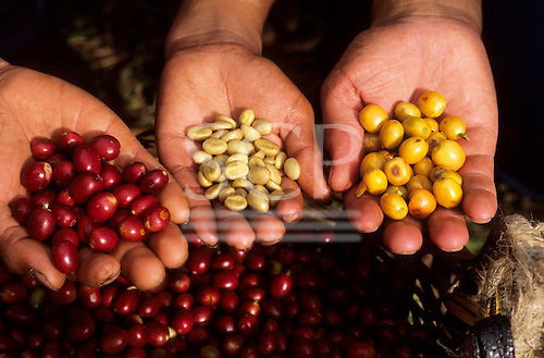 Chirinos, Peru. Three hands with red, yellow and shelled coffee beans.