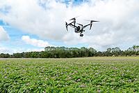 DJI Inspire 2 inspecting potato crops - Norfolk, June