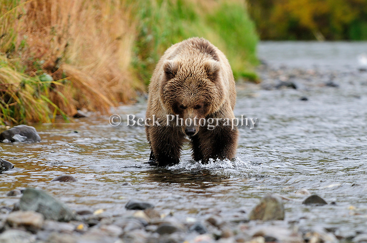 A lone grizzly bear, Ursus arctos horribilis, looks for salmon along the banks of the Alaskan river.