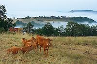 Veau Limousin avec, en arriere plan, la butte de Turenne emergeant de la brume