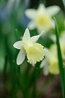Narcissus 'Elka'
