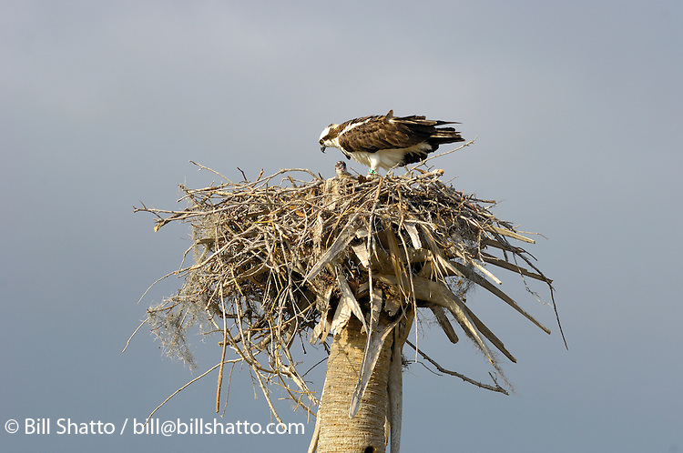 An osprey and chicks in their nest.