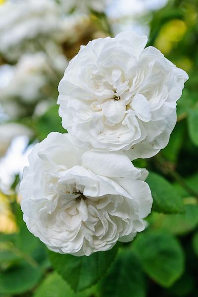 Rosa 'Madame Hardy'