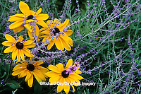 63821-09311 Indian Summer Black-eyed Susans, Russian Sage & Brazilian Verbena in flower garden, Marion Co.  IL