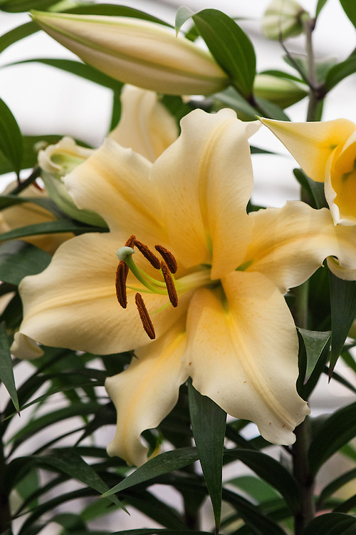 Lilium 'Zirconia'. An OOT hybrid (Oriental Trumpet backcrossed with an Oriental) which is an extremely strong grower with highly scented yellow/cream flowers. Shortlisted for RHS Chelsea Plant of the Year 2013.