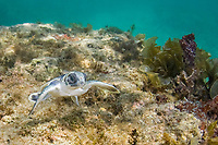 Australian flatback sea turtle hatchling swims across a shallow reef on its way out to sea from the nesting beach, Natator depressus (c-r), Torres Strait, Queensland, Australia - a marine reptile endemic to the Australian continental shelf