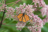 03536-05609 Monarch Butterfly (Danus plexippus) on Joe Pye Weed (Eutrochium pupureum),  Marion Co., IL