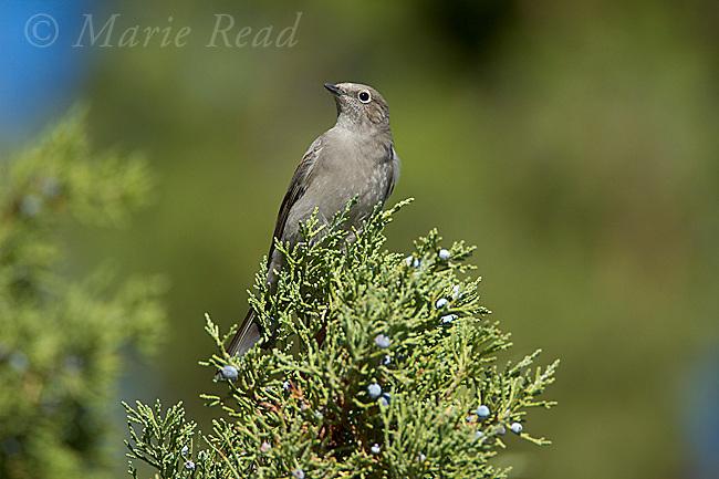 Townsend's Solitaire (Myadestes townsendi), perched in Western Juniper in autumn, Mono Lake Basin, California, USA