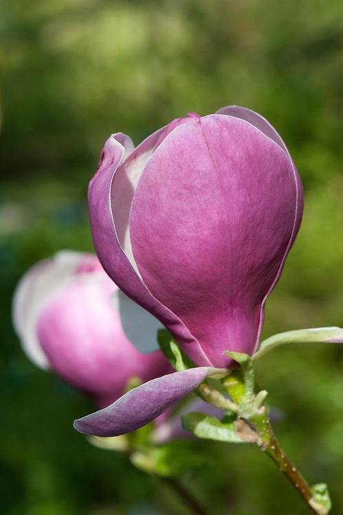 Magnolia x soulangeana 'Lennei', mid April. sometimes known as Saucer magnolia 'Lennei'.