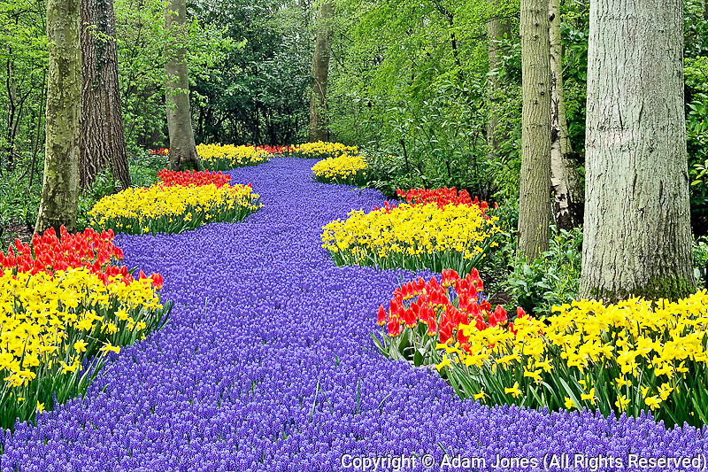 Pathway of Grape Hyacinth, daffodils, and tulips through wooded garden, Keukenhof Gardens; Lisse; Netherlands, Holland