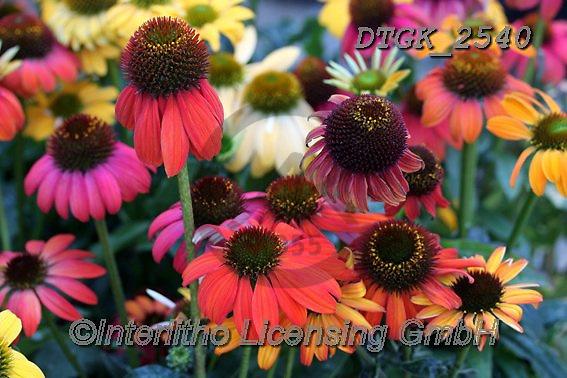 Gisela, FLOWERS, BLUMEN, FLORES, photos+++++,DTGK2540,#f#, EVERYDAY