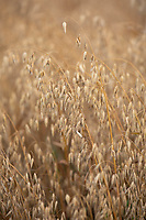 Oats ready for harvesting <br /> ©Tim Scrivener Photographer 07850 303986<br />      ....Covering Agriculture In The UK....