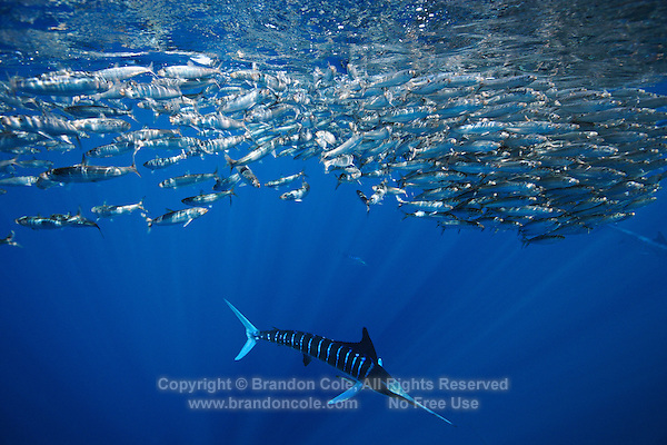 qf0484-D. Striped Marlin (Tetrapturus audax), feeding on Pacific Sardines (Sardinops sagax). Baja, Mexico, Pacific Ocean..Photo Copyright © Brandon Cole. All rights reserved worldwide.  www.brandoncole.com..This photo is NOT free. It is NOT in the public domain. This photo is a Copyrighted Work, registered with the US Copyright Office. .Rights to reproduction of photograph granted only upon payment in full of agreed upon licensing fee. Any use of this photo prior to such payment is an infringement of copyright and punishable by fines up to  $150,000 USD...Brandon Cole.MARINE PHOTOGRAPHY.http://www.brandoncole.com.email: brandoncole@msn.com.4917 N. Boeing Rd..Spokane Valley, WA  99206  USA.tel: 509-535-3489