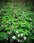 Spring flower garden, Blue Ridge Parkway
