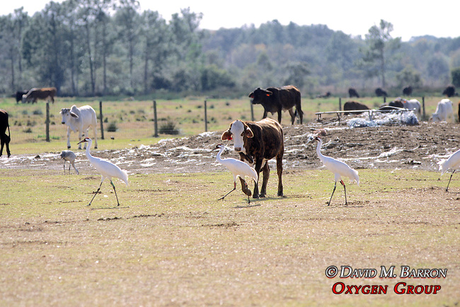 Whooping Cranes With Radio Transmitters & Cow