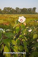 63899-05402 Rose Mallow (Hibiscus lasiocarpos)) in wetland, Marion Co., IL