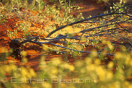 Uprooted, dead Mulga tree surrounded yellow flowers at sunset. Simpson Desert, Queensland.