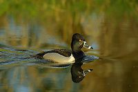 Ring-necked Duck (Aythya collaris) drake.  Pacific Northwest.