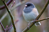 Female dark-eyed junco perched on vine maple branch, Snohomish, Washington, USA