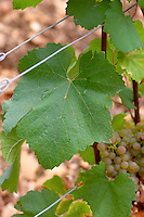 vine leaf domaine comte senard aloxe-corton cote de beaune burgundy france