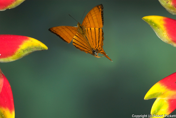 Nymaphalidae Butterfly, Marpesia harmonia, in flight, Costa Rica, High Speed Photographic Technique, flying, tropical jungle, orange striped wings.Costa Rica....