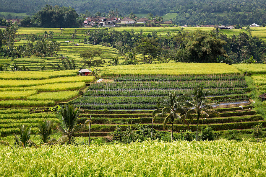 Jatiluwih, Bali, Indonesia.  Terraced Rice Paddies.  Rows of Peppers in the Middle.