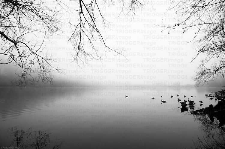 A few ducks and geese floating in a fog filled lagoon with tree branches overhead and reflections.