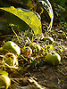 Fallen apples in the autumn.<br /> <br /> Stock Photo by Paddy Bergin