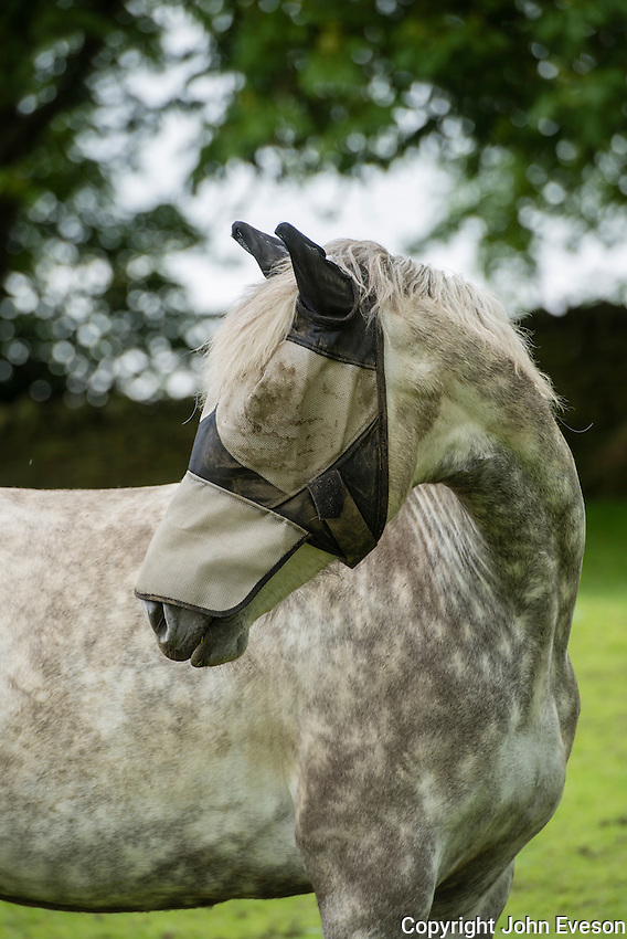 A Connemara pony wearing a mesh hood for fly protection, Macclesfield, Cheshire.