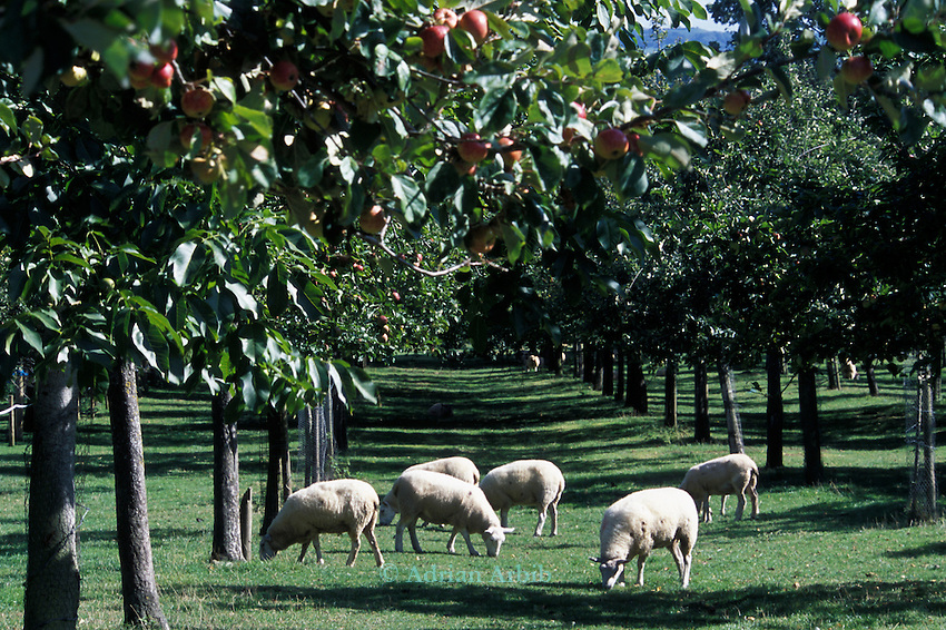 Sheep grazing under apples trees at the Cider Brandy company Kingsbury Episcopi, Somerset.  The practice of renting  the orchards for grazing proivdes extra income for the apple farmers. However under new EEC legislation sheep will be prevented for grazing in the same area as the trees for fear of faecal contaminaton..Kingston Black apples are used for most of the cider production but mixes in other varieties for flavour.