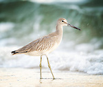 Willets and Yellow Legs