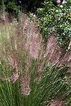 Muhley grass has beautiful pink seed heads that provide brilliant color in the fall.