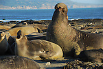 Female and bull northern elephant seals