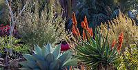 Aloe 'Orange Popsicle' (A. arborescens x ferox ) flowering in winter - Ruth Bancroft Garden