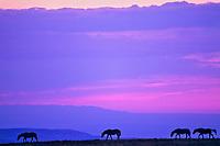 Wild horses walking ridgeline at sunset.  Montana.  Summer.