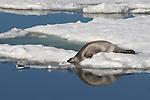 phoque à rubans ou phoque rubané..Ce très beau phoque au pelage noir pour le mâle et clair pour la femelle, est caractérisé par ces trois lignes blanches qui entourent la tête, les nageoires pectorales et l'ensemble de la partie arrière du corps. Cantonné au Pacifique nord, il se rencontre essentiellement dans les mers d'Okhotsk et de Béring, avec une population pour cette dernière estimée entre 90 000 et 140 000 individus. Les naissances s'échelonnent d'avril à mars, les femelles mettant bas sur de la banquise disloquée. Le reste de l'année le phoque à rubans est solitaire.