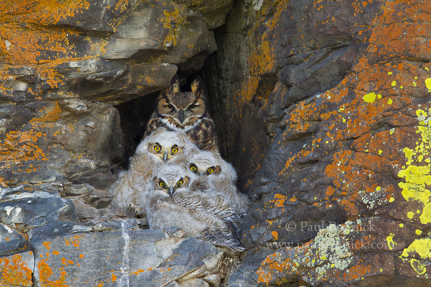 Three Great Horned Owl nestlings await prey delivery with their mother.