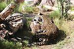 Jaguar grooming cub