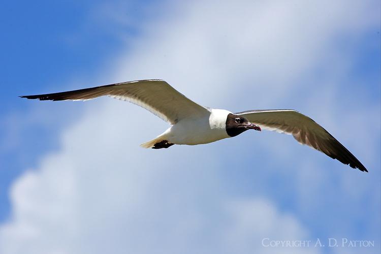 Adult laughing gull post breeding