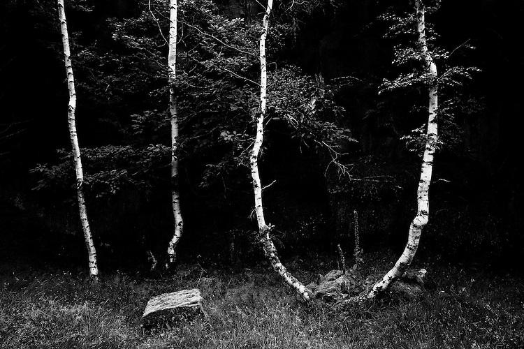 Silver Birch Trees against dark rocks at Bolehill, Derbyshire
