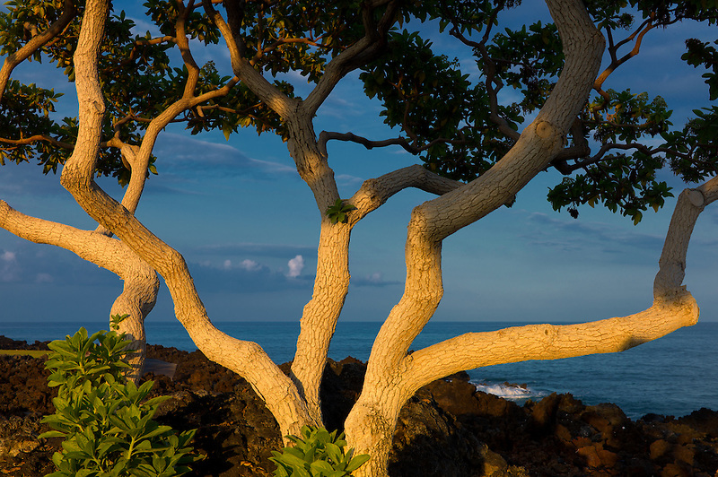 Heliotrope trees with first light and ocean. The Big Island, Hawaii.