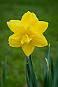 Narcissus 'Golden Ducat', early April.