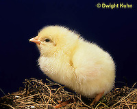DG05-005x  Chicken - chick newly hatched, fluffy